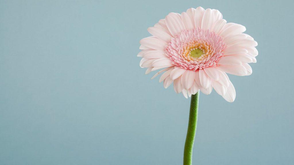 Freundin überraschen mit Blumen Gerbera