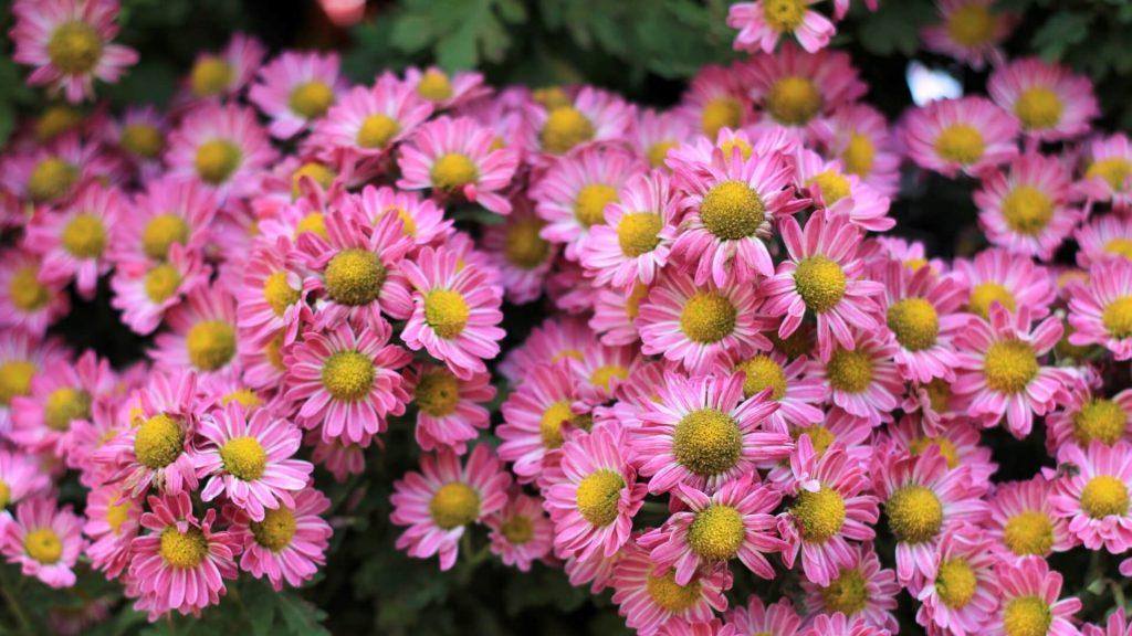 Freundin überraschen mit Blumen Margerite