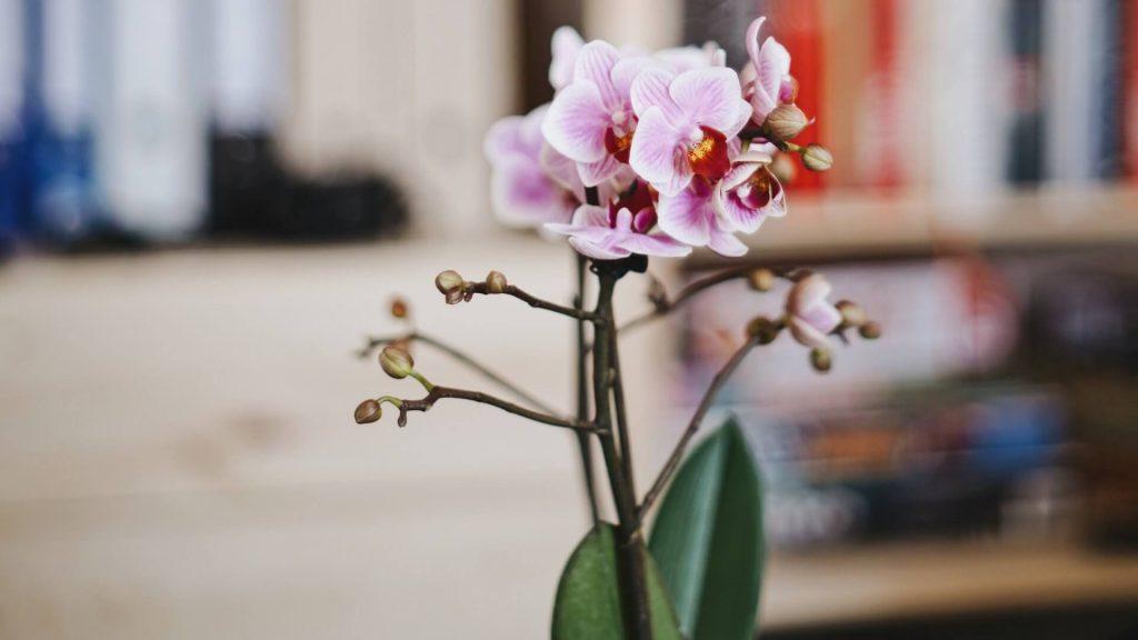 Freundin überraschen mit Blumen Orchidee